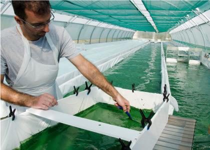 Récolte des algues par le producteur de spiruline